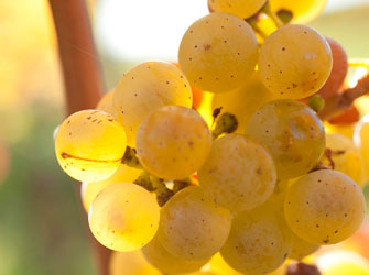 Our Champion riesling fruit